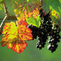 la Salamandre - Baillestavy Frankrijk :|druiventros