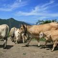 la Salamandre - Baillestavy Frankrijk :Het dorp Baillestavy|koeien
