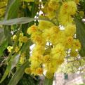 la Salamandre - Baillestavy Frankrijk :|mimosa