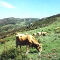 la Salamandre - Baillestavy Frankrijk :Algemene voorwaarden|Koeien